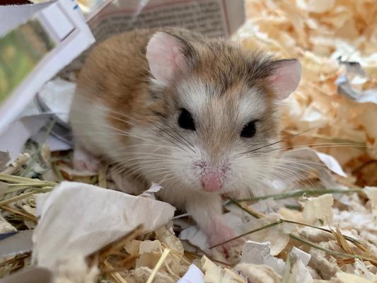 anoushka hamster