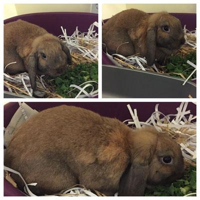fawn rabbit m